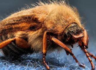 Первоиюльский жук