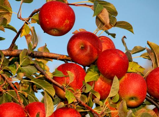 Яблоневый лес