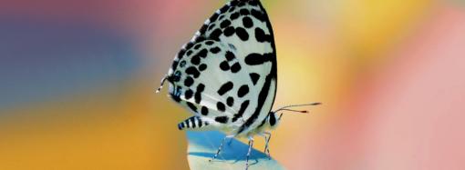 Бабочка в горошек