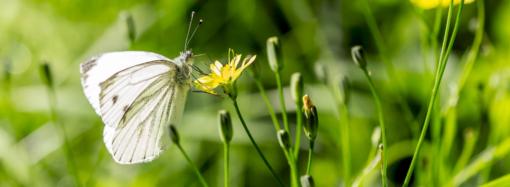 Могила бабочки