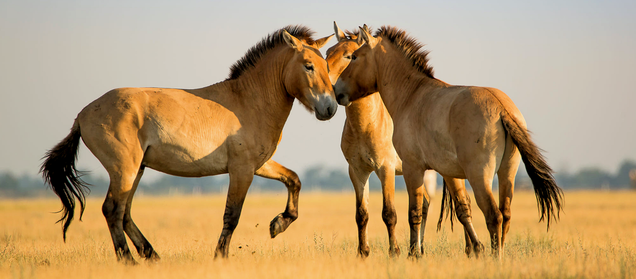 Пржвлскй (почему-то о лошади)